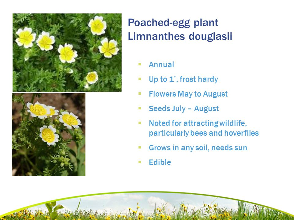 Poached-egg plant Limnanthes douglasii  Annual  Up to 1', frost hardy  Flowers May to August  Seeds July – August  Noted for attracting wildlife,