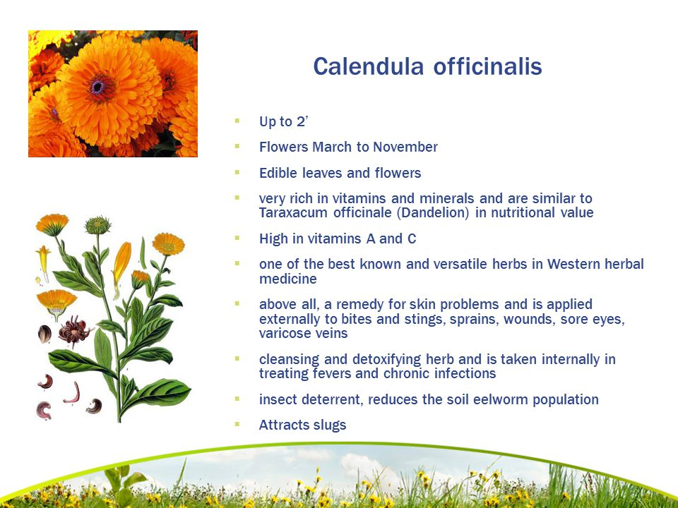 Calendula officinalis  Up to 2'  Flowers March to November  Edible leaves and flowers  very rich in vitamins and minerals and are similar to Taraxacum officinale (Dandelion) in nutritional value  High in vitamins A and C  one of the best known and versatile herbs in Western herbal medicine  above all, a remedy for skin problems and is applied externally to bites and stings, sprains, wounds, sore eyes, varicose veins  cleansing and detoxifying herb and is taken internally in treating fevers and chronic infections  insect deterrent, reduces the soil eelworm population  Attracts slugs