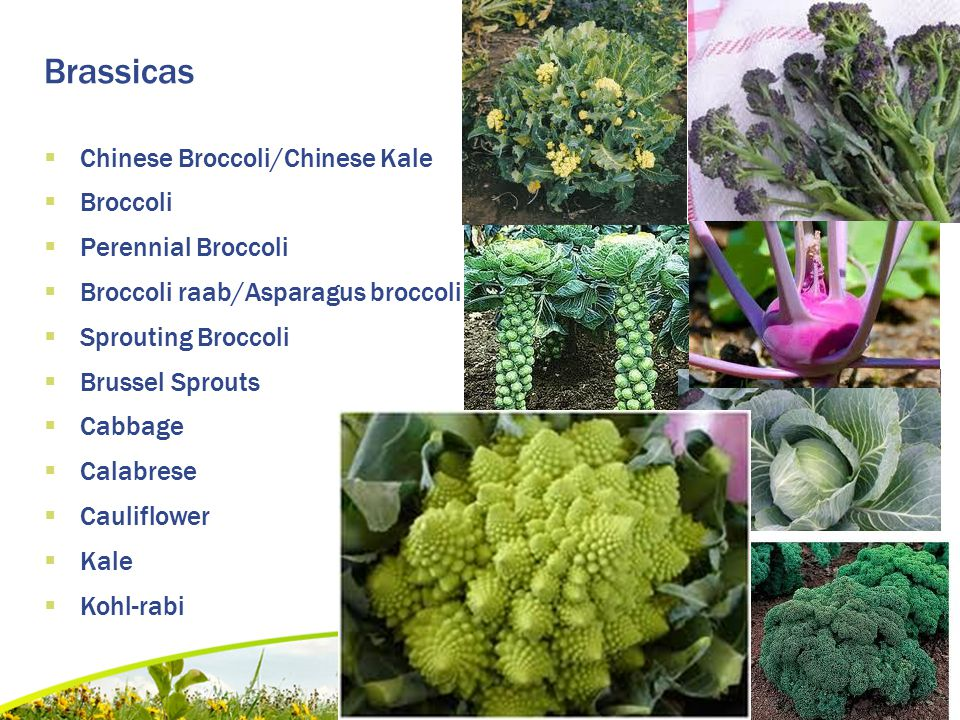 Brassicas  Chinese Broccoli/Chinese Kale  Broccoli  Perennial Broccoli  Broccoli raab/Asparagus broccoli  Sprouting Broccoli  Brussel Sprouts 