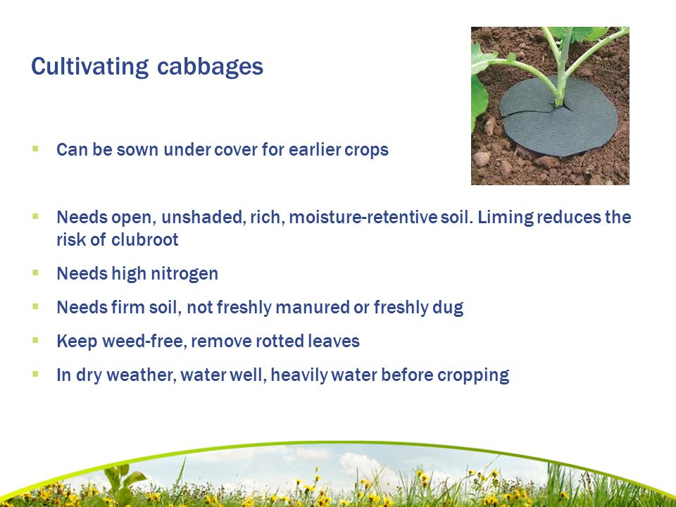 Cultivating cabbages  Can be sown under cover for earlier crops  Needs open, unshaded, rich, moisture-retentive soil. Liming reduces the risk of clu