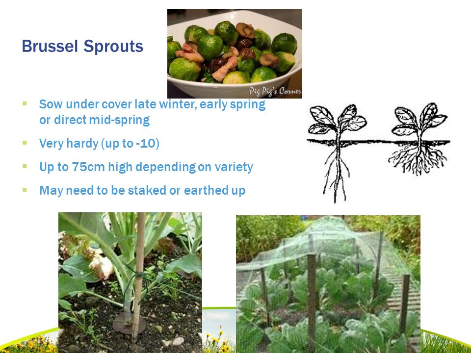 Brussel Sprouts  Sow under cover late winter, early spring or direct mid-spring  Very hardy (up to -10)  Up to 75cm high depending on variety  May