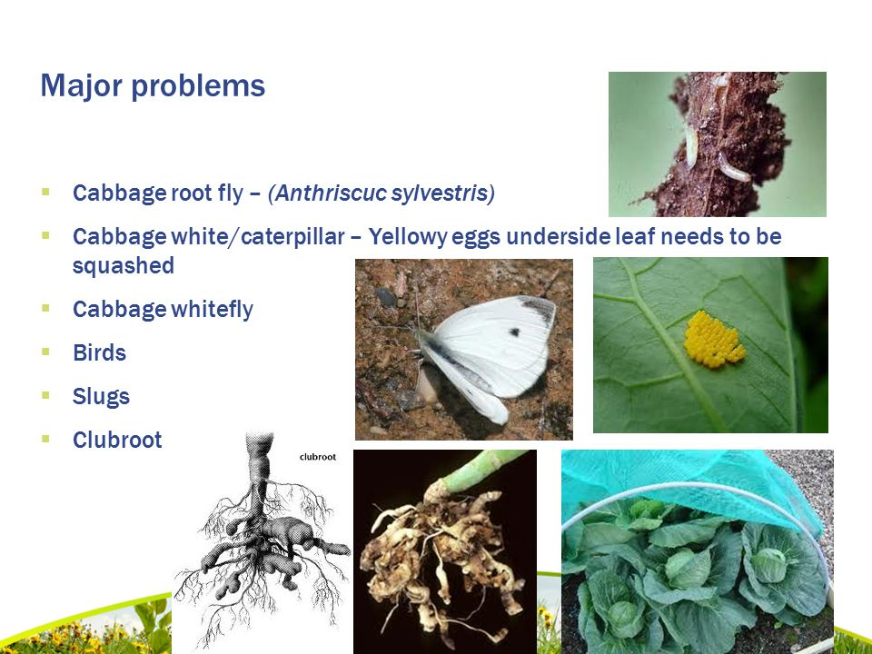 Major problems  Cabbage root fly – (Anthriscuc sylvestris)  Cabbage white/caterpillar – Yellowy eggs underside leaf needs to be squashed  Cabbage whitefly  Birds  Slugs  Clubroot