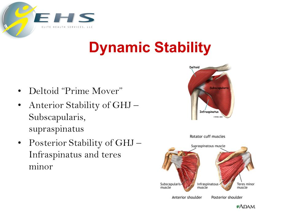 Dynamic Stability Deltoid Prime Mover Anterior Stability of GHJ – Subscapularis, supraspinatus Posterior Stability of GHJ – Infraspinatus and teres minor
