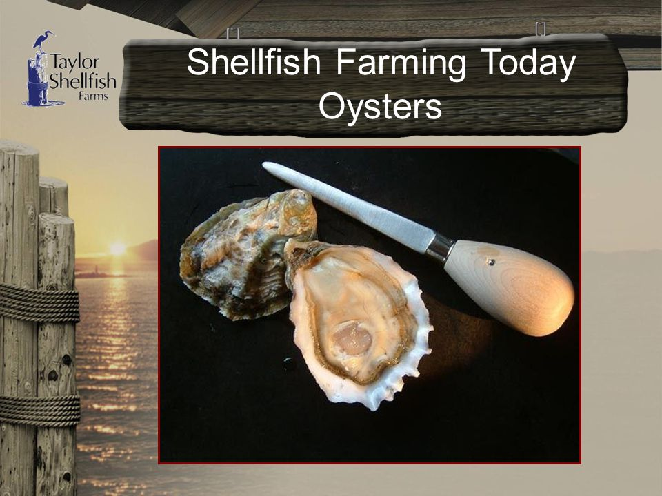 Shellfish Farming Today Oysters