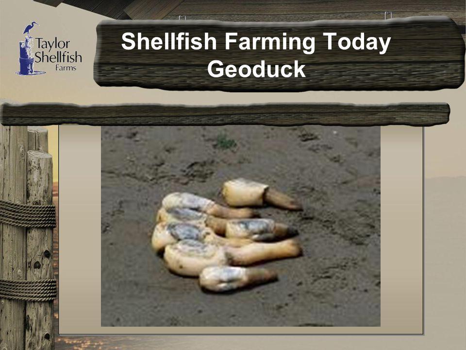 Shellfish Farming Today Geoduck