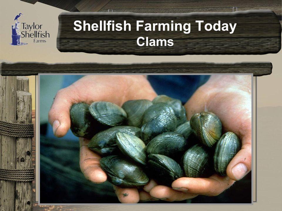 Shellfish Farming Today Clams