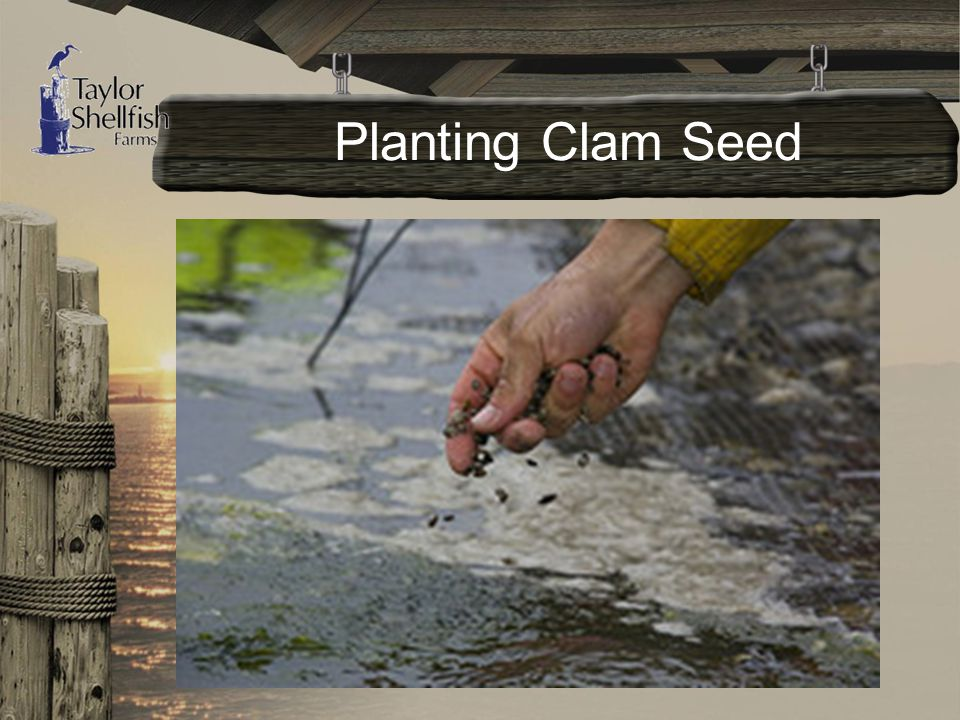 Planting Clam Seed