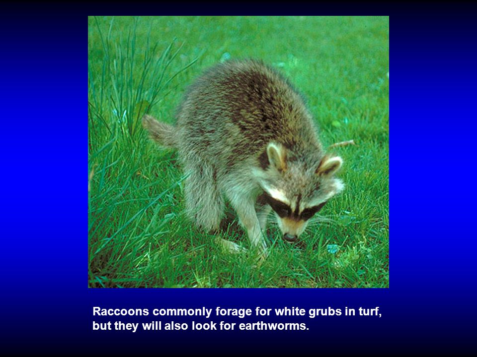 Raccoons commonly forage for white grubs in turf, but they will also look for earthworms.