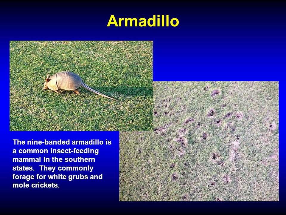 Armadillo The nine-banded armadillo is a common insect-feeding mammal in the southern states. They commonly forage for white grubs and mole crickets.