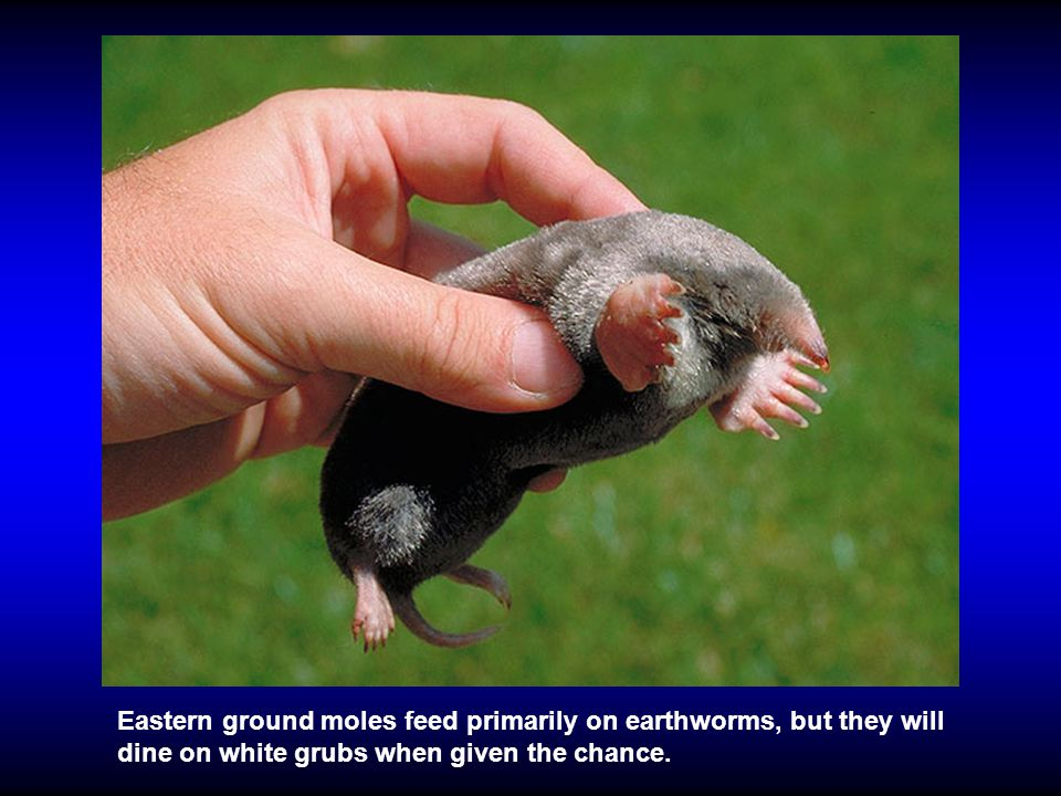 Eastern ground moles feed primarily on earthworms, but they will dine on white grubs when given the chance.