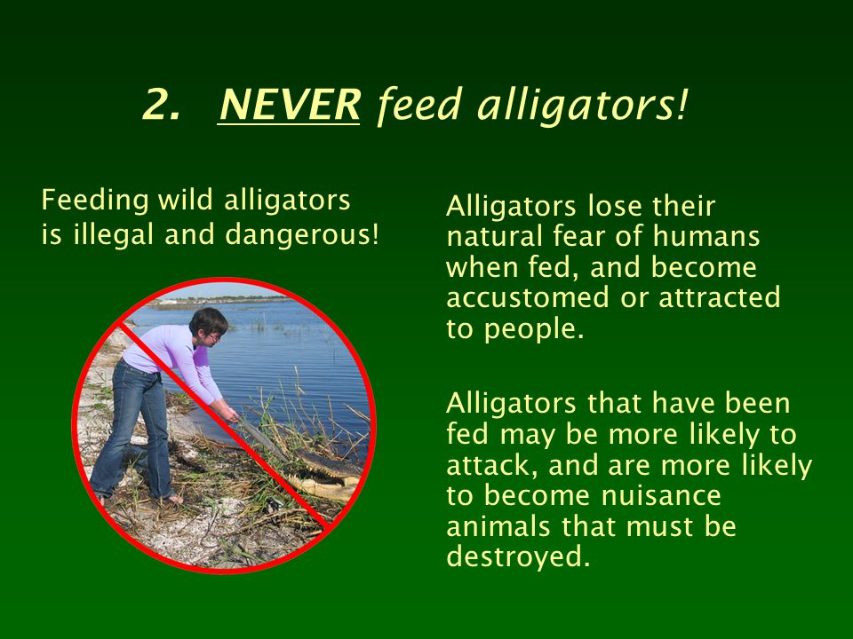 2.NEVER feed alligators! Feeding wild alligators is illegal and dangerous! Alligators lose their natural fear of humans when fed, and become accustome
