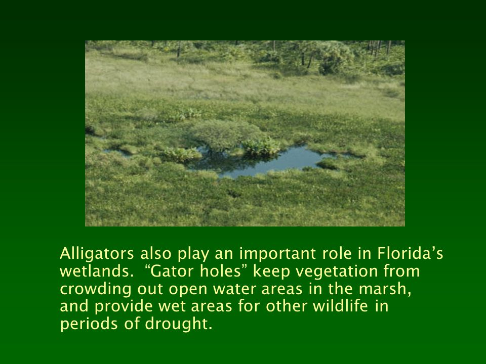 Alligators also play an important role in Florida's wetlands.