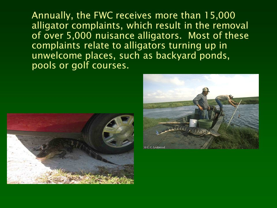 Annually, the FWC receives more than 15,000 alligator complaints, which result in the removal of over 5,000 nuisance alligators. Most of these complai