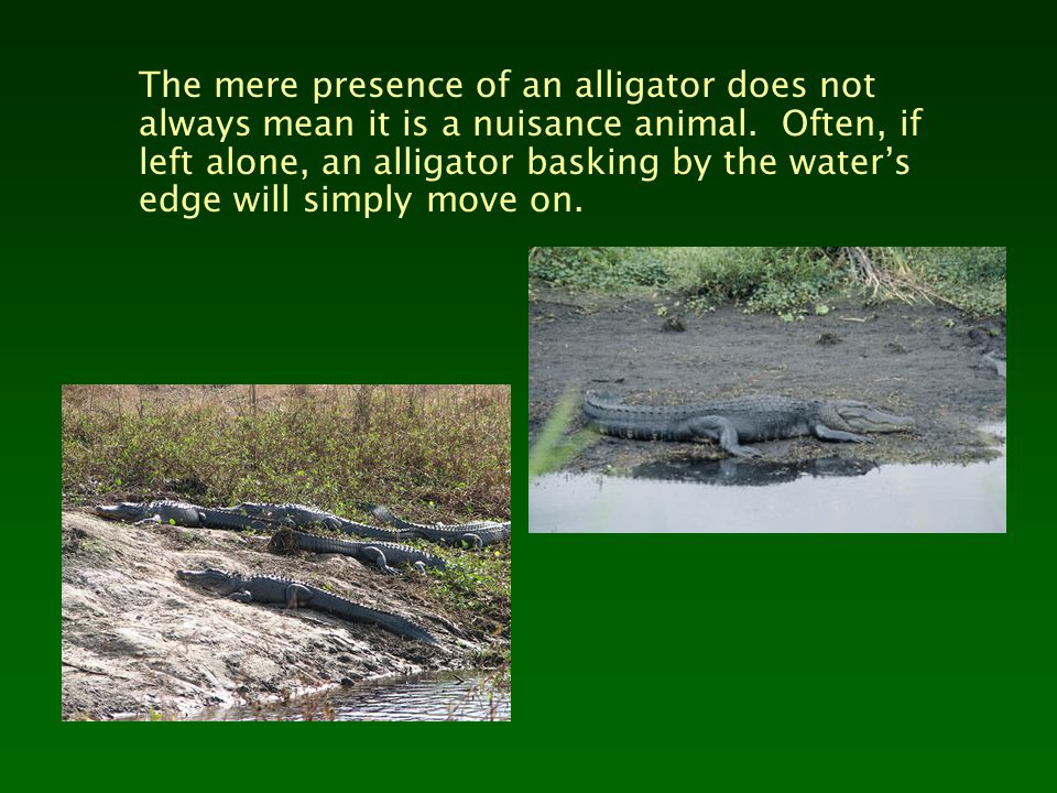 The mere presence of an alligator does not always mean it is a nuisance animal. Often, if left alone, an alligator basking by the water's edge will si