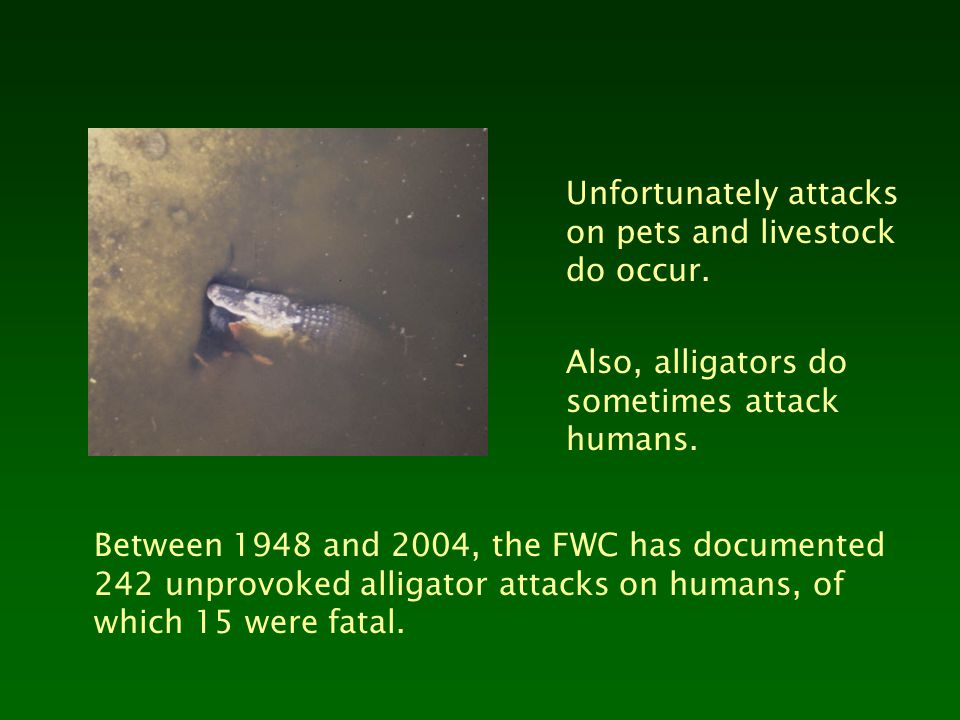 Unfortunately attacks on pets and livestock do occur. Also, alligators do sometimes attack humans. Between 1948 and 2004, the FWC has documented 242 u