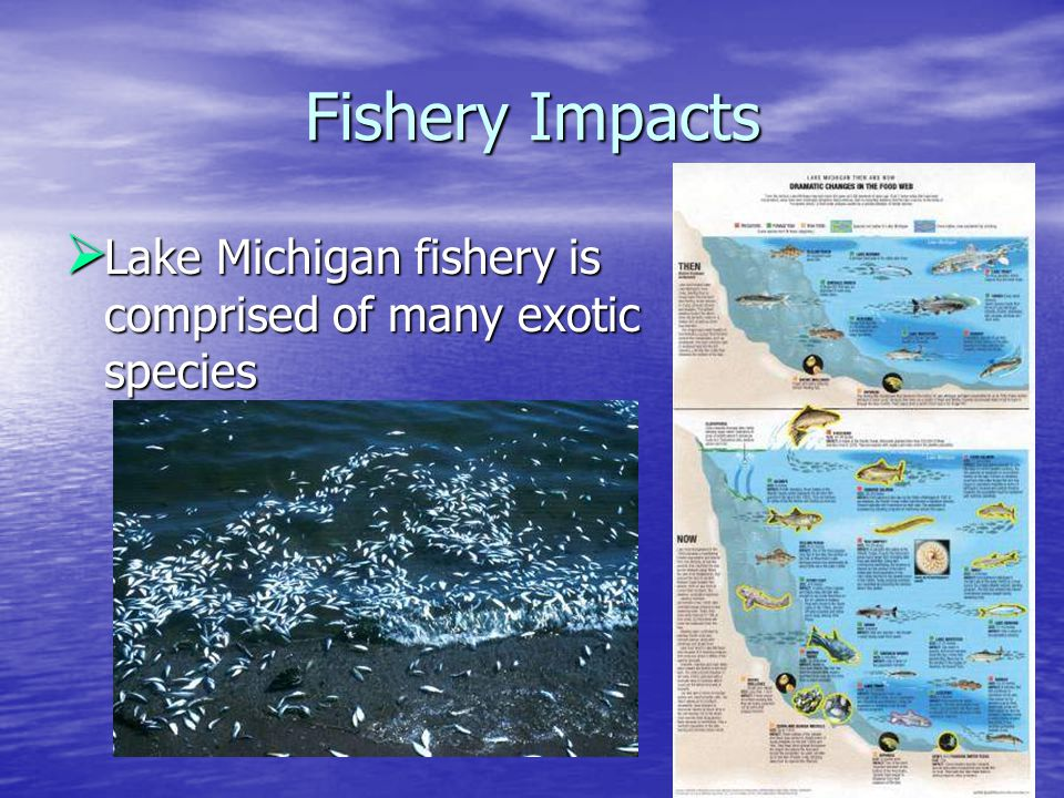 Fishery Impacts  Lake Michigan fishery is comprised of many exotic species