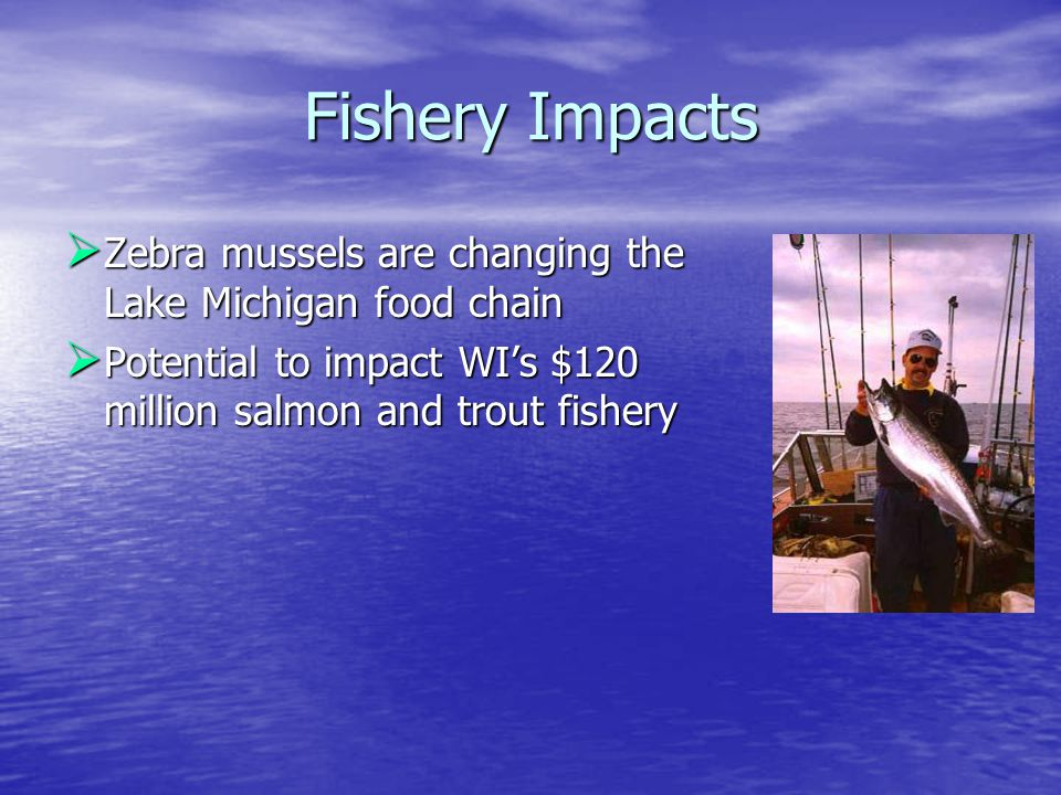Fishery Impacts  Zebra mussels are changing the Lake Michigan food chain  Potential to impact WI's $120 million salmon and trout fishery