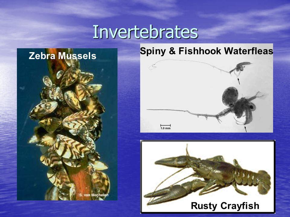 Invertebrates Spiny & Fishhook Waterfleas Rusty Crayfish Zebra Mussels