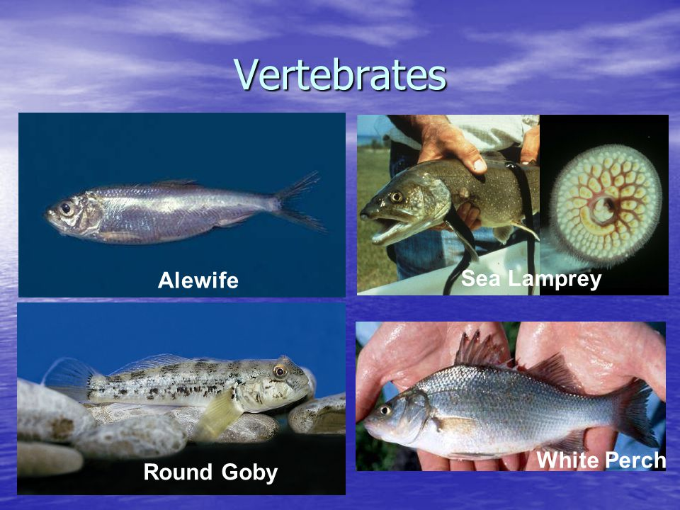 Vertebrates White Perch Round Goby Alewife Sea Lamprey