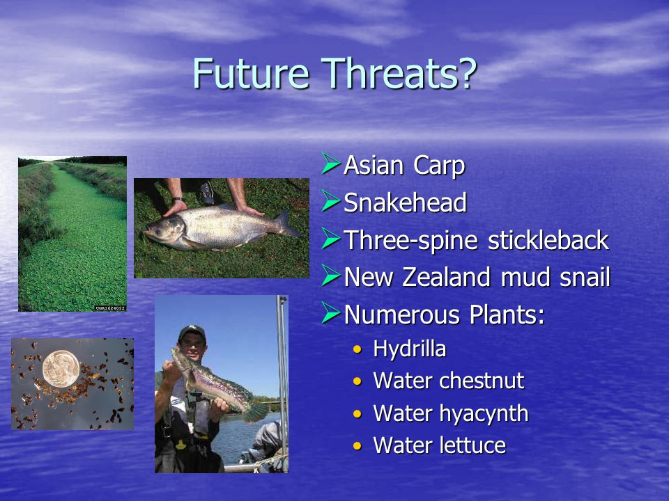 Future Threats?  Asian Carp  Snakehead  Three-spine stickleback  New Zealand mud snail  Numerous Plants: HydrillaHydrilla Water chestnutWater che
