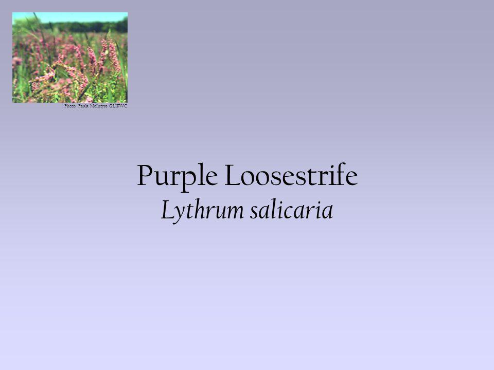 Photo: Paula McIntyre GLIFWC Purple Loosestrife Lythrum salicaria