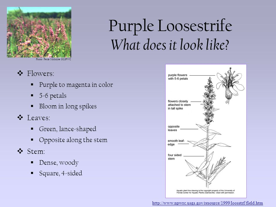 Photo: Paula McIntyre GLIFWC Purple Loosestrife Where does it live.