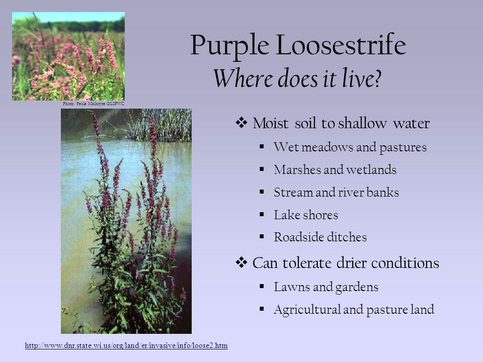 Photo: Paula McIntyre GLIFWC Purple Loosestrife Where does it live?  Moist soil to shallow water  Wet meadows and pastures  Marshes and wetlands 