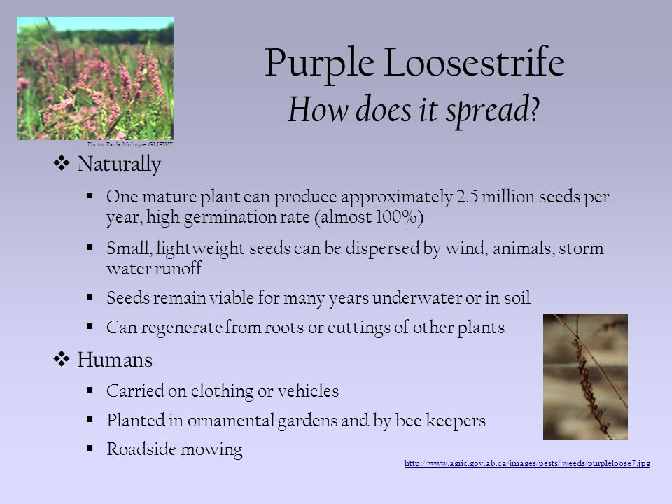 Photo: Paula McIntyre GLIFWC Purple Loosestrife What does it do.