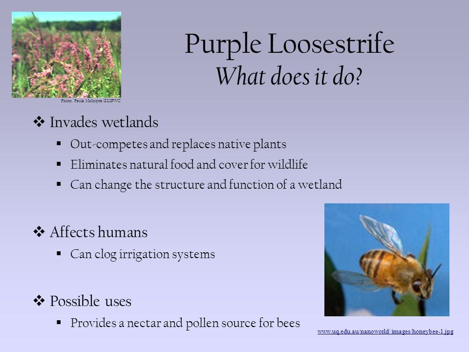 Photo: Paula McIntyre GLIFWC Purple Loosestrife How can we control it.