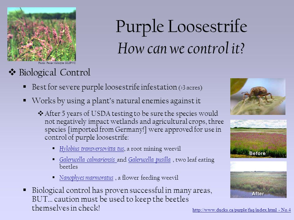 Photo: Paula McIntyre GLIFWC Purple Loosestrife What can we do to help.
