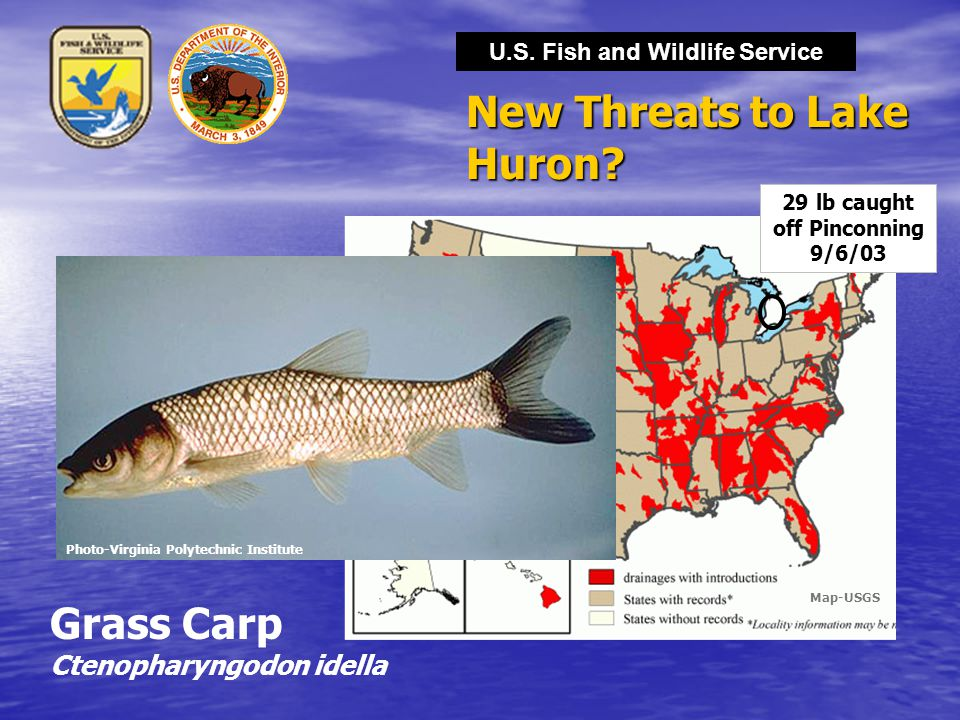 U.S. Fish and Wildlife Service New Threats to Lake Huron? Grass Carp Ctenopharyngodon idella Photo-Virginia Polytechnic Institute 29 lb caught off Pin