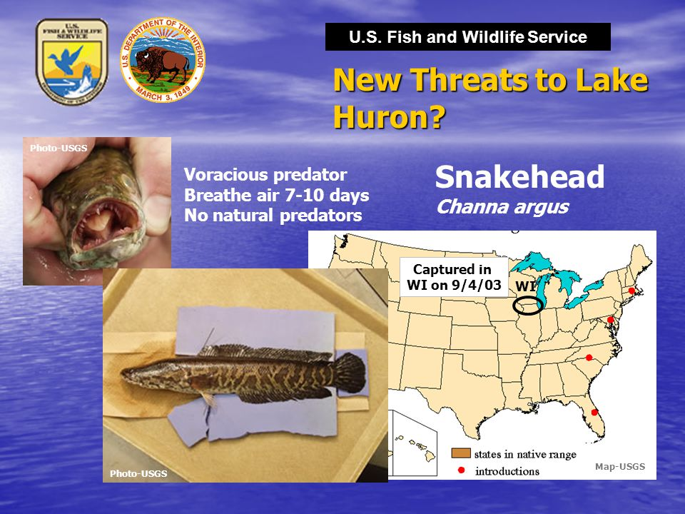 U.S. Fish and Wildlife Service New Threats to Lake Huron? Snakehead Channa argus WI Captured in WI on 9/4/03 Voracious predator Breathe air 7-10 days