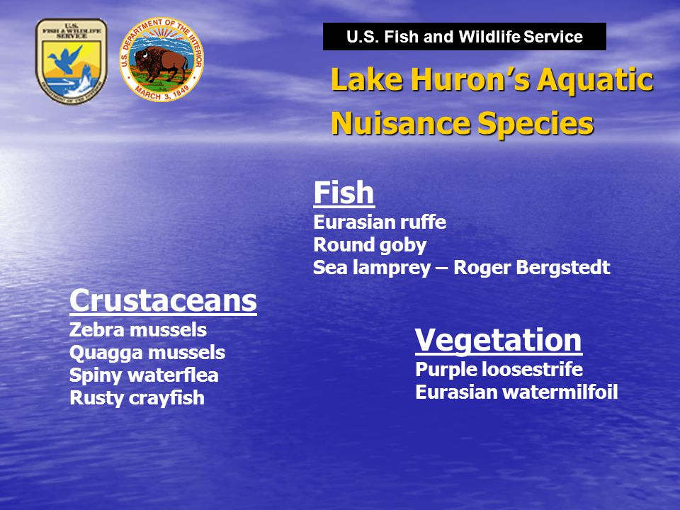 U.S. Fish and Wildlife Service Lake Huron's Aquatic Nuisance Species Crustaceans Zebra mussels Quagga mussels Spiny waterflea Rusty crayfish Vegetatio