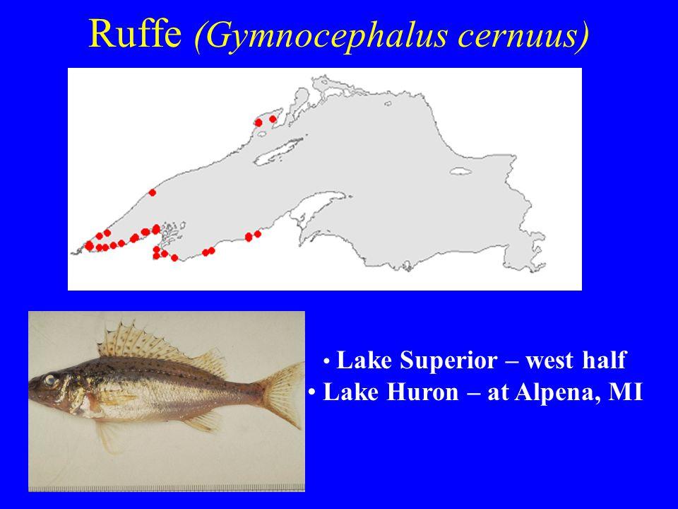 Ruffe (Gymnocephalus cernuus) Lake Superior – west half Lake Huron – at Alpena, MI