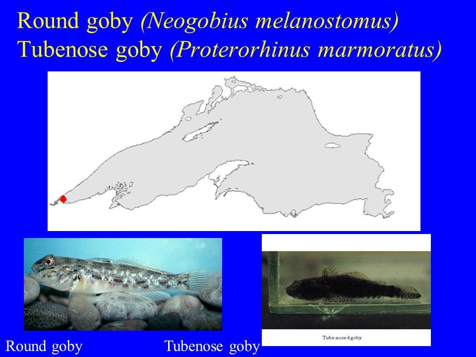 Round goby (Neogobius melanostomus) Tubenose goby (Proterorhinus marmoratus) Round gobyTubenose goby