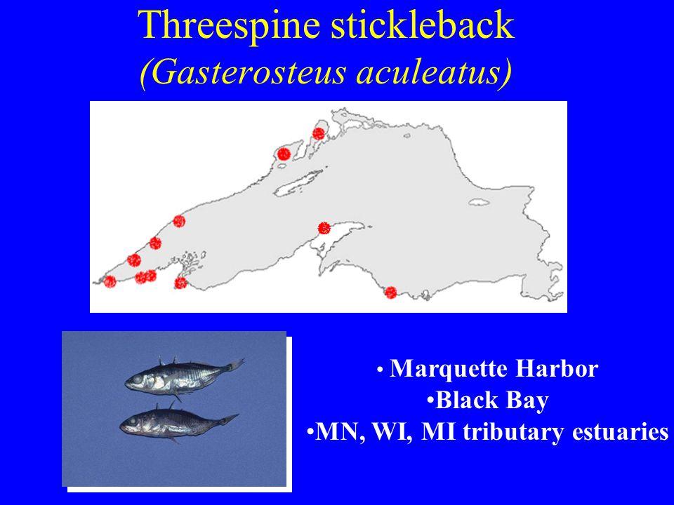 Threespine stickleback (Gasterosteus aculeatus) Marquette Harbor Black Bay MN, WI, MI tributary estuaries