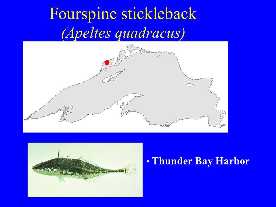 Fourspine stickleback (Apeltes quadracus) Thunder Bay Harbor