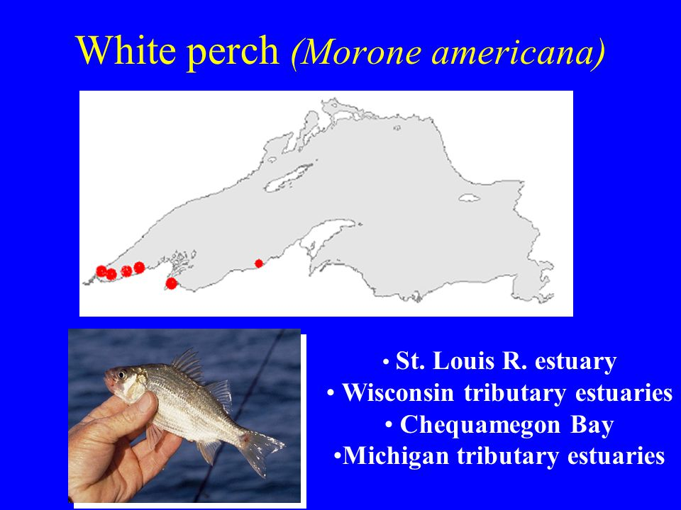 White perch (Morone americana) St. Louis R.