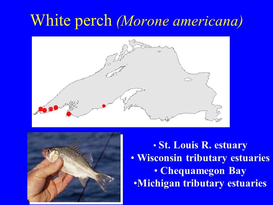 White perch (Morone americana) St. Louis R. estuary Wisconsin tributary estuaries Chequamegon Bay Michigan tributary estuaries