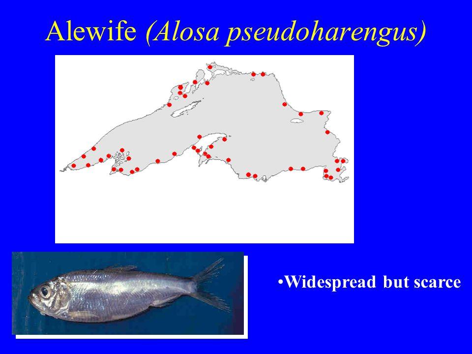 Alewife (Alosa pseudoharengus) Widespread but scarce