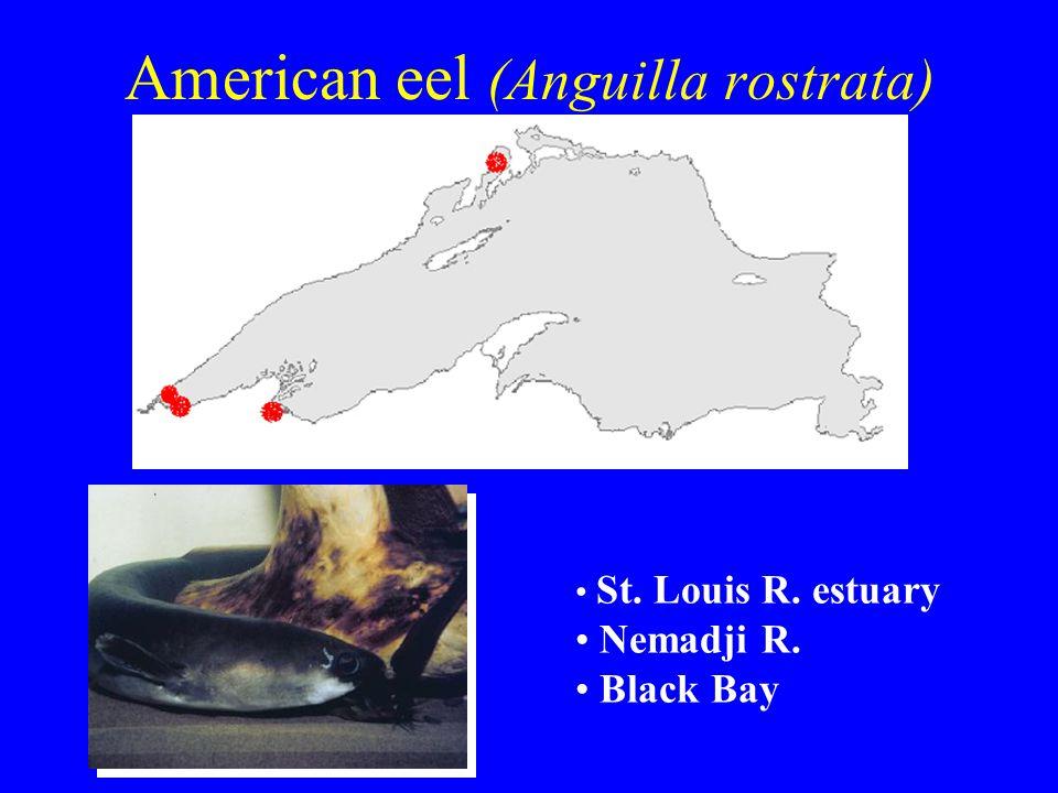 American eel (Anguilla rostrata) St. Louis R. estuary Nemadji R. Black Bay