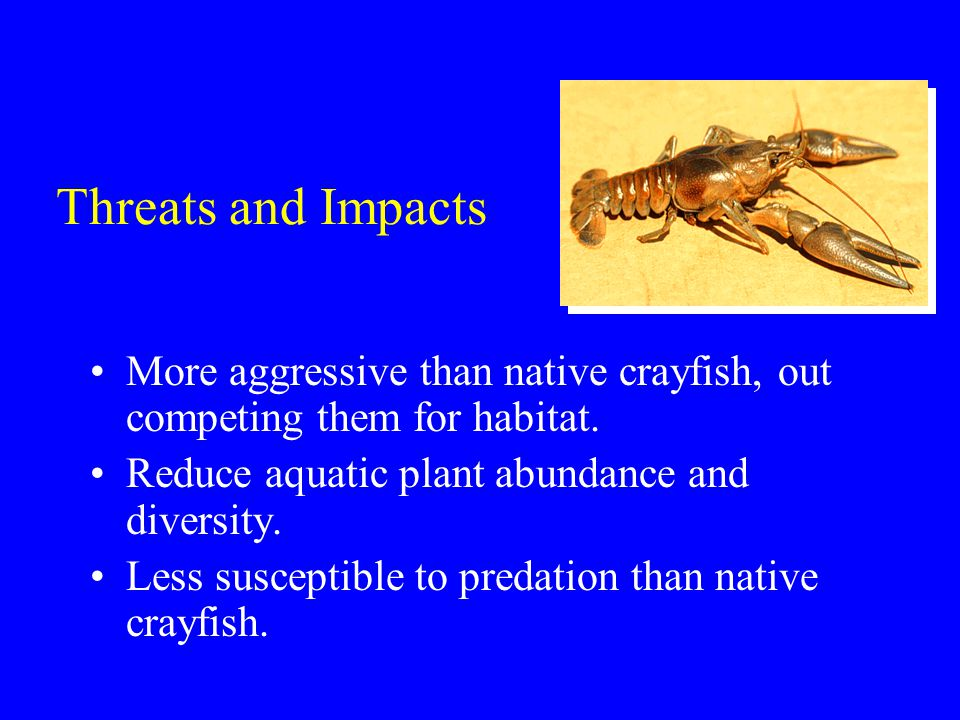 Threats and Impacts More aggressive than native crayfish, out competing them for habitat.