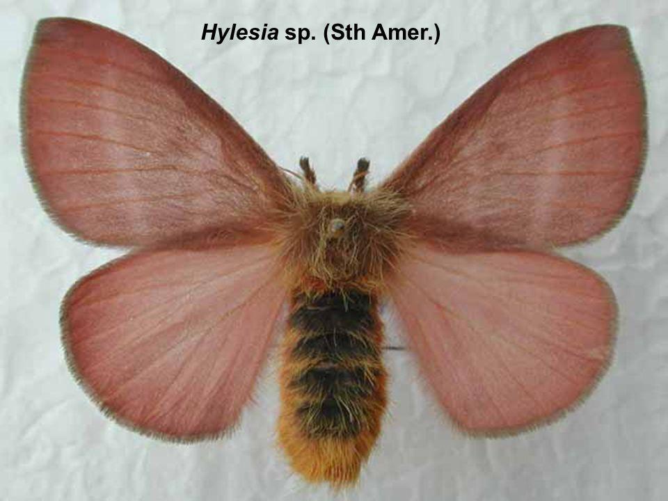 Hylesia sp. (Sth Amer.)