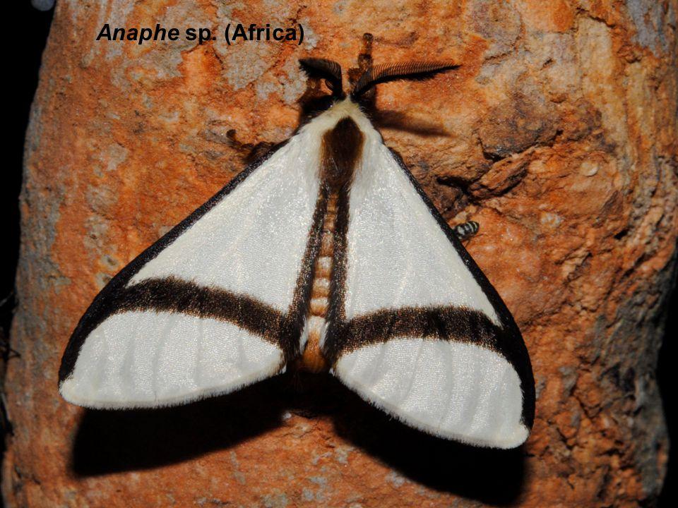 Anaphe sp. (Africa)