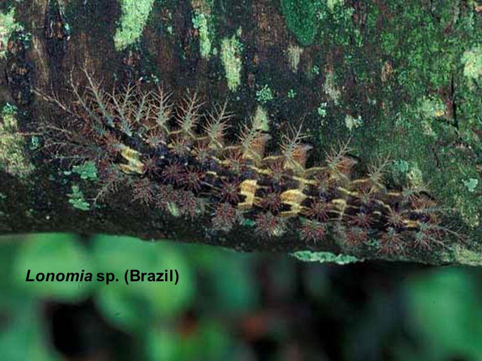 Lonomia sp. (Brazil)