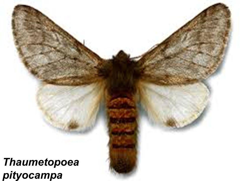 Thaumetopoea pityocampa