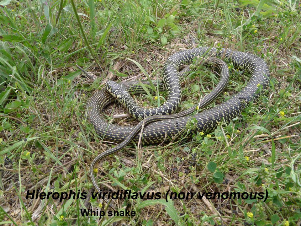 Hierophis viridiflavus (non venomous) Whip snake