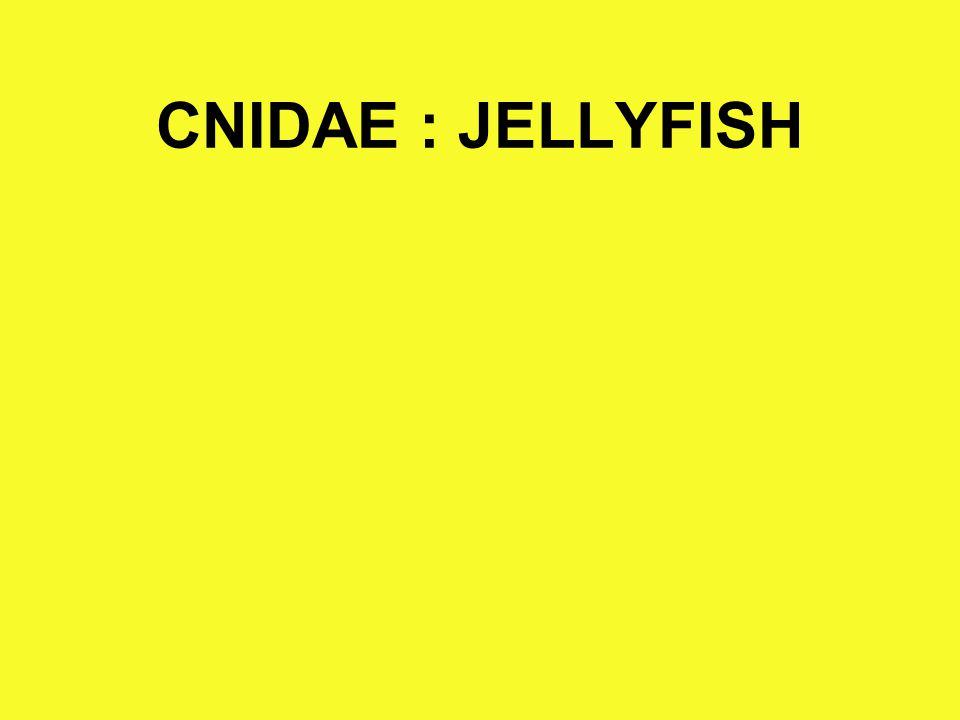 CNIDAE : JELLYFISH