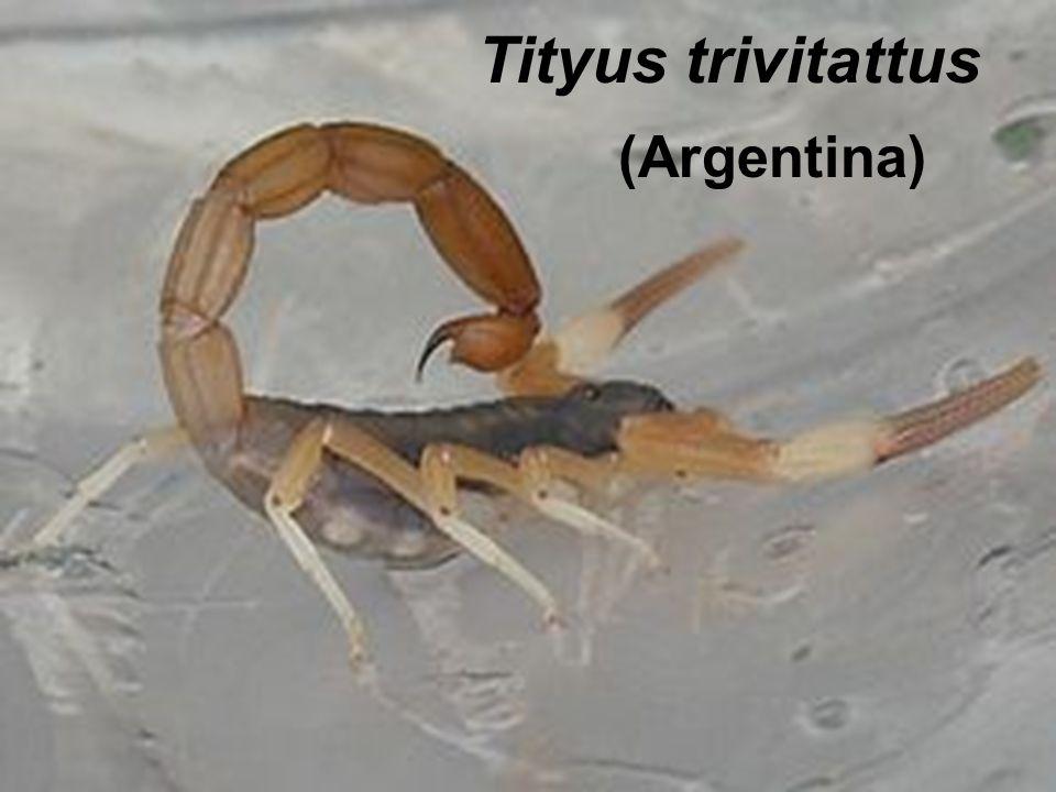 Tityus trivitattus (Argentina)