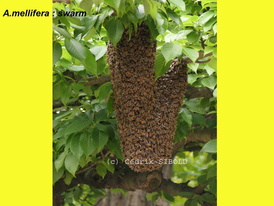 A.mellifera : swarm